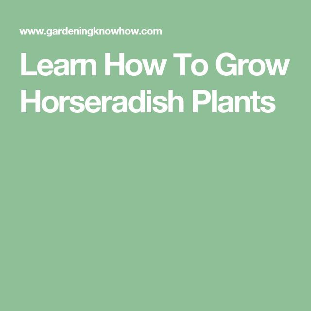 Learn How To Grow Horseradish Plants
