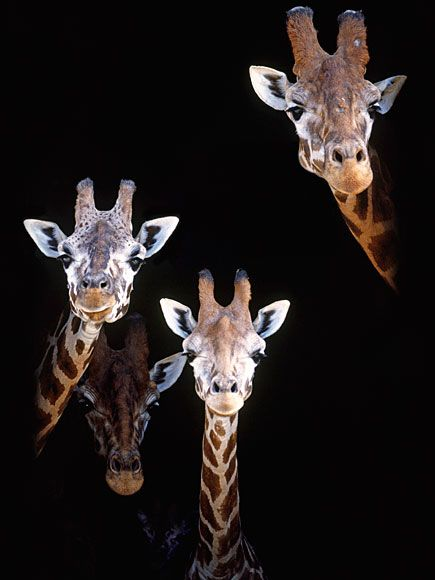 Lose the Facebook Riddle? 8 Hilarious Giraffes to Win the Day| Wacky Animal Stories, facebook.com, Giraffes