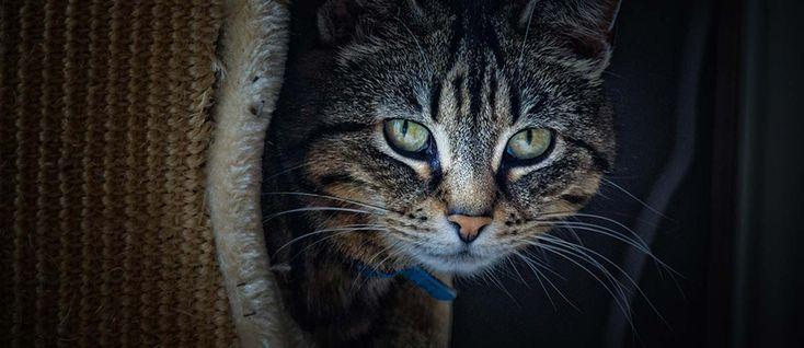 Un gatto da romanzo  Il gatto abitava felicemente quei romanzi, quelle poesie. Guardare come socchiudeva gli occhi era davvero una delizia. Diceva molto con poco, come fa del resto la buona poesia. Passeggiare nei libri era il suo divertimento. Facilitava certe storie, sovvertiva le trame, invertiva gli esiti, e nei versi si leccava i …