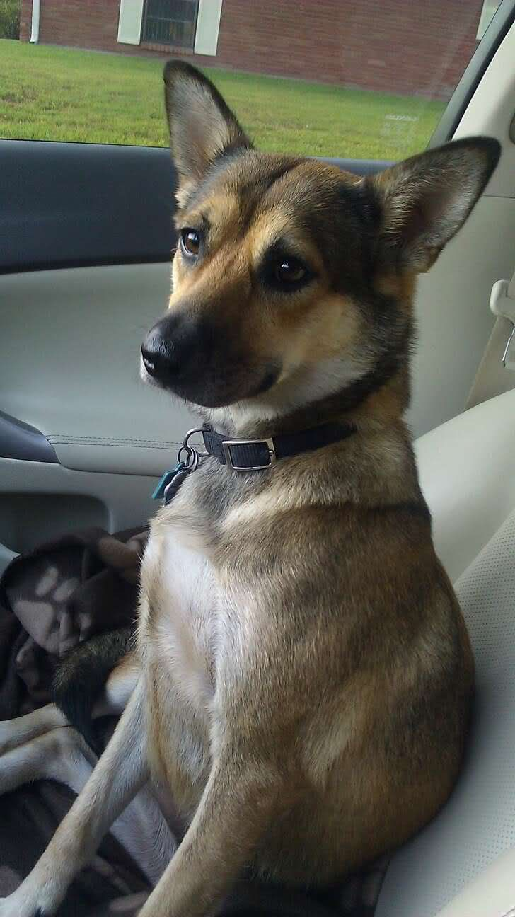 Rat Terrier Beagle Mix Brown Cute Dog Pinterest Red