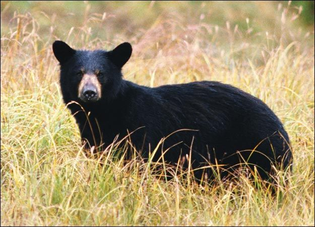 When black bears attack people, they do not run. They simply walk up to people like a dog looking to be petted. Once within 3ft of the person, then they strike.