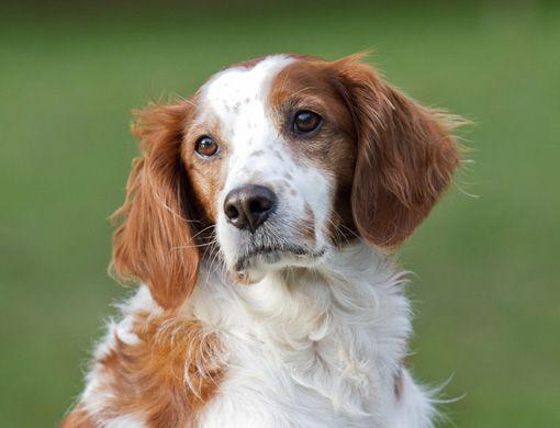 Hoy te presentamos a unos perritos muy simpáticos y juguetones, los bretones españoles, perteneciente a los pointing retrievers o perros de caza. De tamaño mediano, son hermosos y muy sociables.