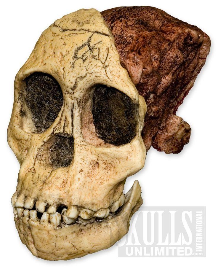 Taung Child Skull (3 pieces) (Australopithecus africanus) | WBH-016