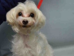 SAFE 11/26/16 ---  SUPER URGENT Brooklyn Center TEA CUP – A1097876 FEMALE, WHITE, MALTESE MIX, 12 yrs STRAY – STRAY WAIT, NO HOLD Reason STRAY Intake condition UNSPECIFIE Intake Date 11/25/2016, From NY 11237, DueOut Date 11/28/2016