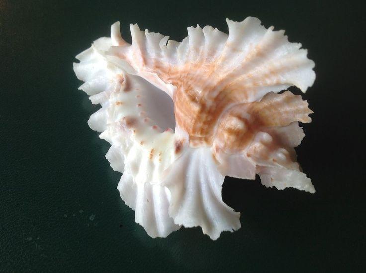 GIANT Pterynotus phyllopterus Guadeloupe murex shell seashell 90mm