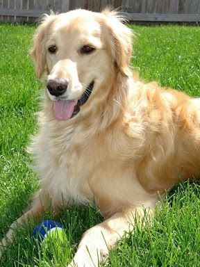 The Golden is one of the best dogs for kids with autism
