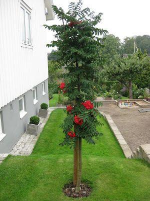 Hallontrollets trädgård: Träd i min trädgård
