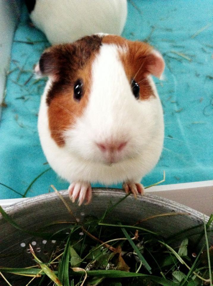 Ethel the guinea pig