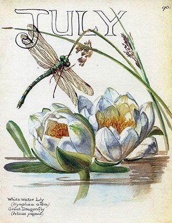 Nymphaea alba ~ European White Waterlily, White Lotus, Nenuphar | dreamwork, sedative, painkiller, anti-anxiety Libélula. Nenúfares. Julio.