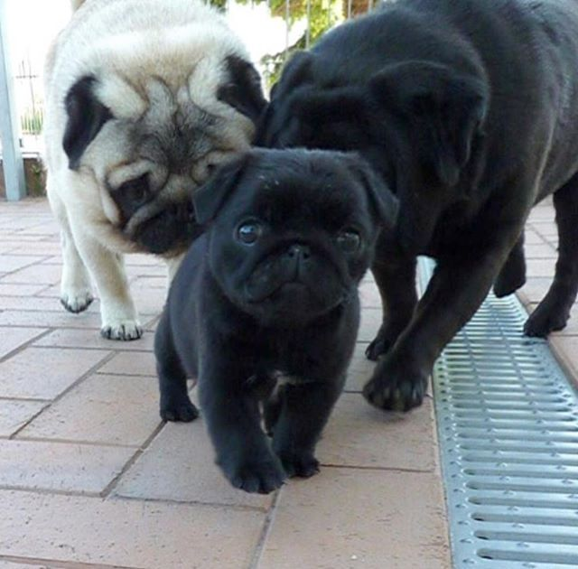 Bodyguards Follow Pugdashians Blackpug Doggy Dogscorner