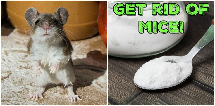 how to get rid of mice Google Search Getting rid of