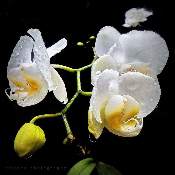 Phalaenopsis amabilis (species)