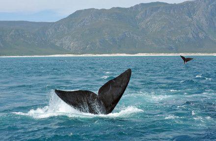 Walbeobachtung - Hermanus - Südafrika im Oktober