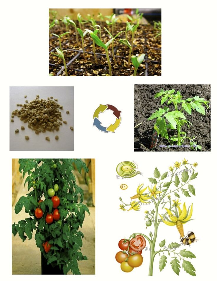 32 best images about cycle des plantes on pinterest. Black Bedroom Furniture Sets. Home Design Ideas