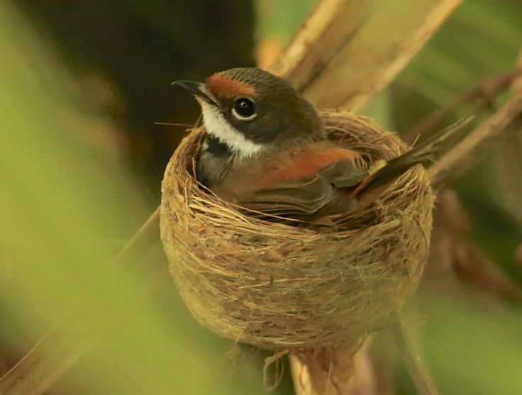 Look at this gorgeous little rufous fantail in her nest! Image by Corinne le Gall #booderee #birds