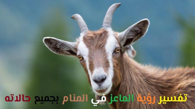 تفسير رؤية الماعز في المنام بجميع حالاته لابن سيرين موقع مصري Goats Poison Ivy Plants Cat Safe Plants