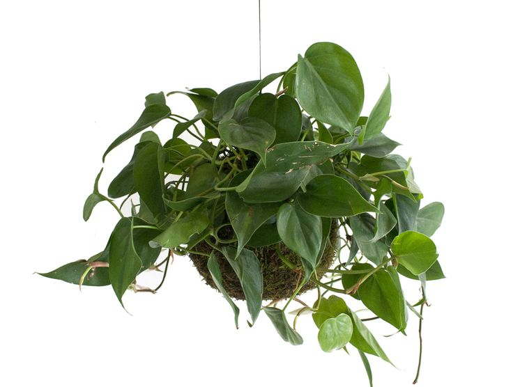 PHILODENDRON SCANDI // GREEN