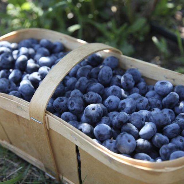 Acidic soil creates basketfuls of blueberries.