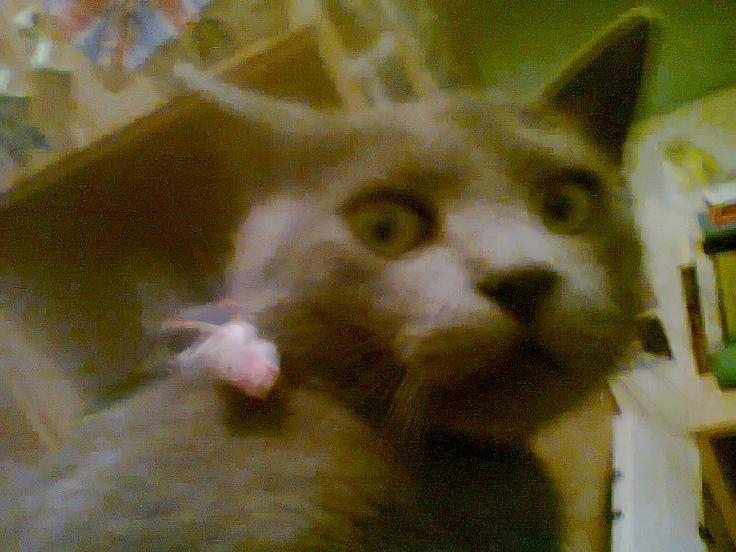 Carthusian cat, gatto certosino #puzzled #shocked #cat #gatto #perplesso  #allibito #damerino #gentleman #papillon