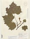 Platanus occidentalis, #leaf, #herbarium sheet, #wetland tree