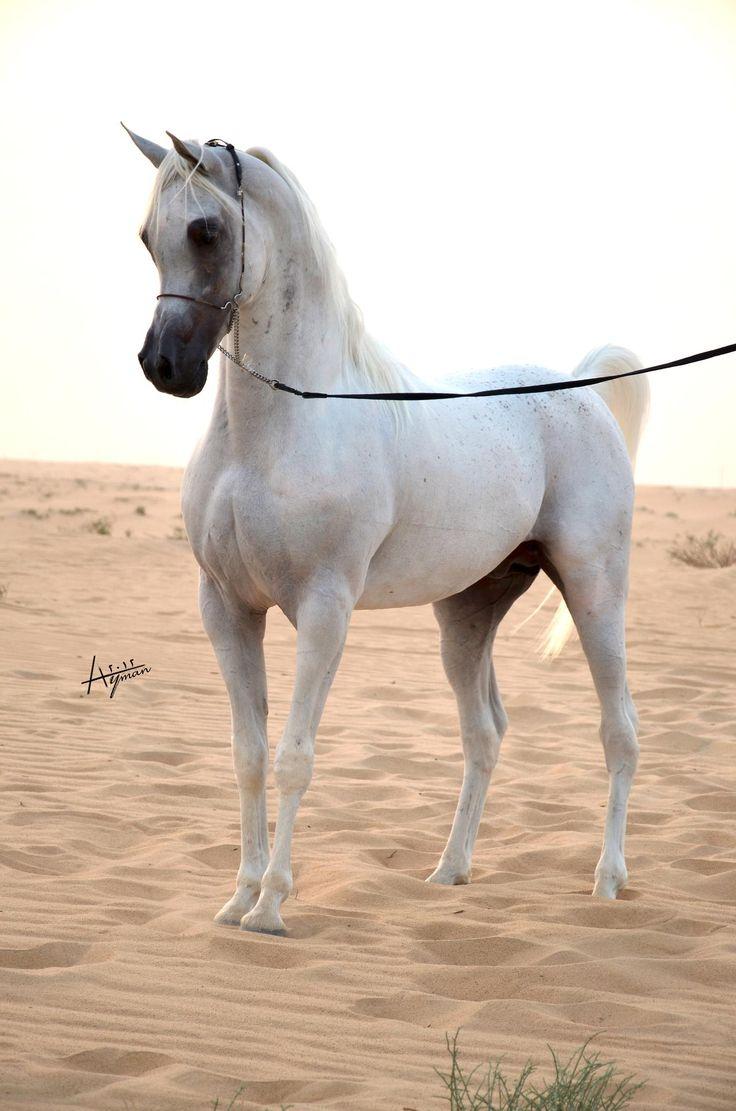Nader Al Aliaa Arabian horse