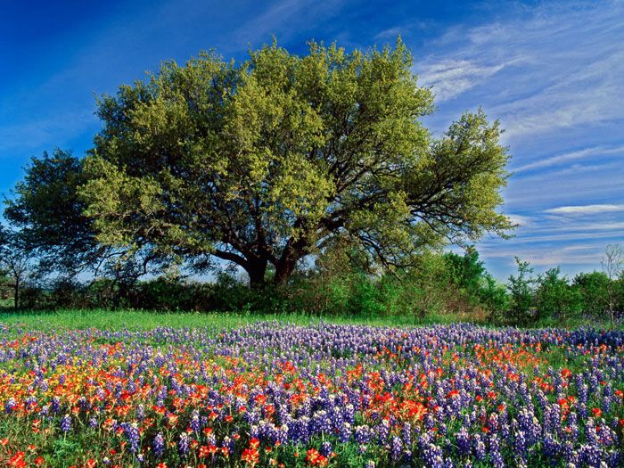 Texas..sweet Texas...my home State. Bright Blue Sky, Live Oak Tree, Blue Bonnets and Indian Paint Brushes...doesn't get much better than this site.