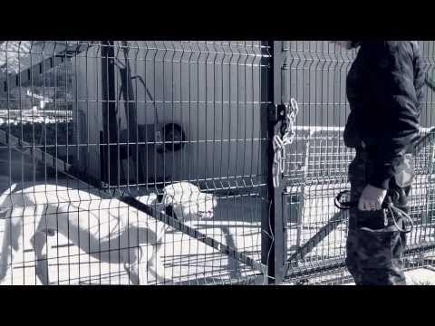 AGRESSIVITE DOGUE ARGENTIN PURE COMMUNICATION CANINE - YouTube