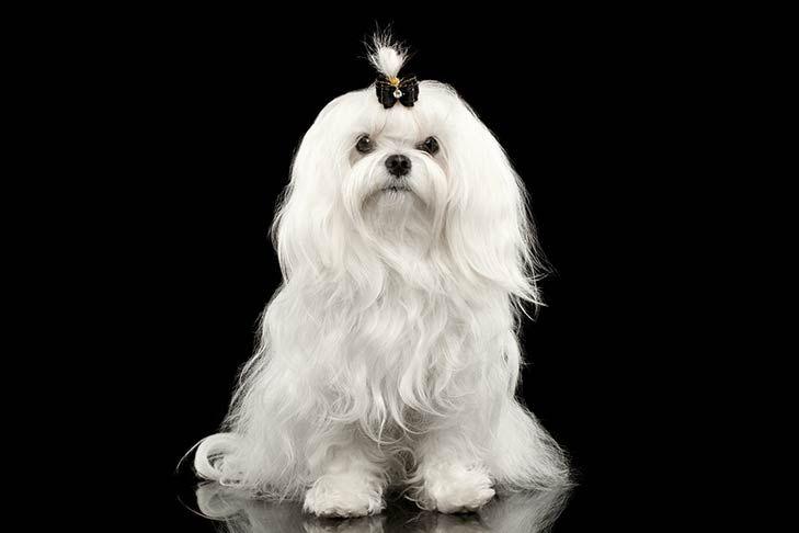 Maltese Dog Breed Information Maltese Dog Breed Maltese