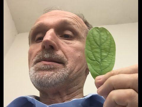 Hoja de aguacate o palta - Avocado leaf