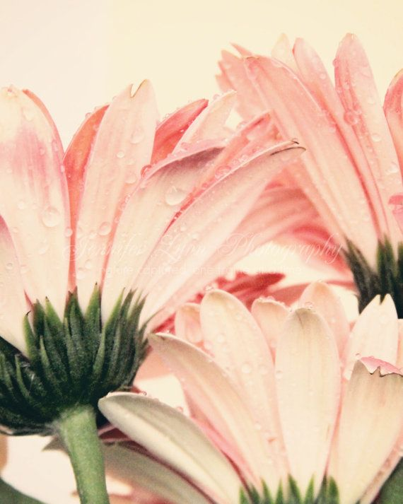 pink gerbera daisy - flower photography