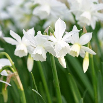Narcissus 'Thalia' (1 foot tall; May blooms)