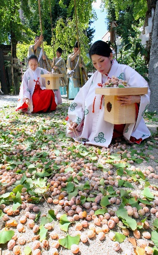 Shrine maidens at Fukuoka's Okushida san shrine grounds picking up fallen gingko nuts with chopsticks. The nuts will be peeled, purified and later given away to the shrine visitors as a good luck charm.