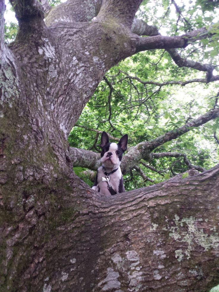 """You can't see me""... ""You can't see me""... ""You can't see me""...""HEY!""... ""how can you see me?"", the Elusive Tree Climbing French Bulldog"