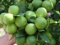 Cómo sembrar un árbol de limones en casa