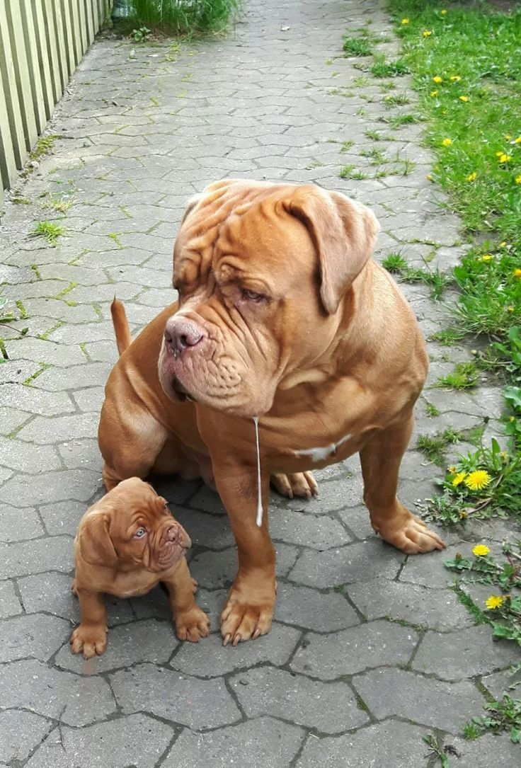 Dogue De Bordeaux With Pup It Seems Like The Pup Is Looking At The Drool Mastiff Puppies French Mastiff Puppies Mastiff Dogs