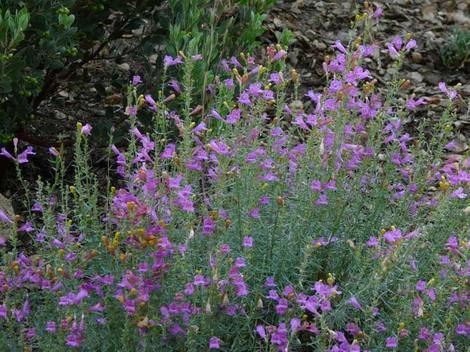 37 best images about ca native plants on pinterest for Southern california native plants
