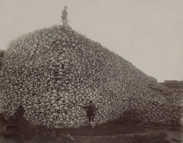 Bison skull pile..Bison hunted almost to extenction.  Those are Bison skulls..not all the bones, just the heads... disgusting legacy of what man can do