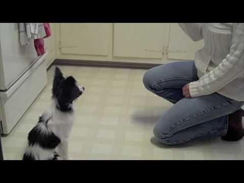 Papillon Puppy Tricks - amazing tricks to teach your puppy