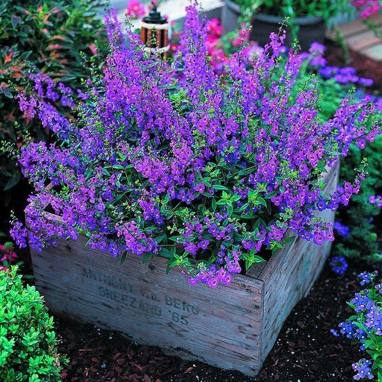 Pretty flower beds.  The Simple Country Corner  ‎~Angelonia -It's easy to grow and flowers profusely (AND IT'S PURPLE!) great plant for our dry spells and heat. Not fussy about soil either. Butterflies love it!