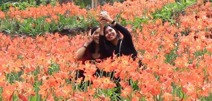 Taman Bunga Amaryllis Puspa Patuk, Gunungkidul, Yogyakarta. Objek wisata baru di Jogja yang menyejukkan mata