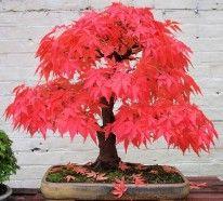 Bonsai Baum kaufen und richtig pflegen - einige wertvolle Tipps
