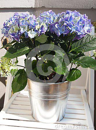A beautiful blue hortensia (hydrangea)
