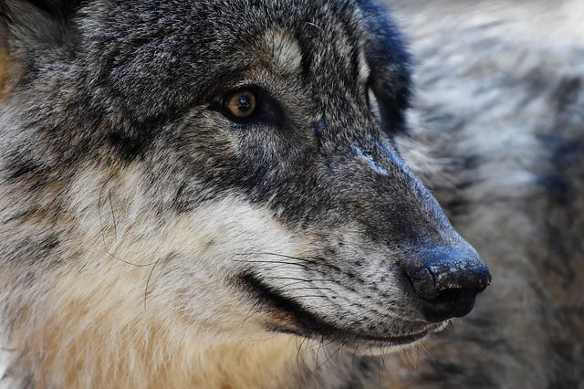 Wolves prefer to use man-made features like pipelines to help them move about the landscape and hunt. #wolves #behaviour #hunting #carnivores #biology #ecology #environment