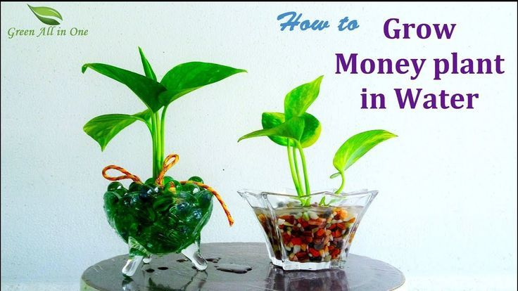 How to Grow Money plant In Water|Money plant Growing Ideas|Money plant Decoratio – Money Plants