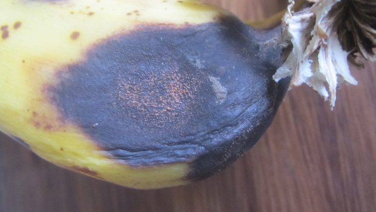 research paper fusarium wilt on abaca The recent fusarium wilt (fusarium oxysporum f  bacterial wilt of abaca,  this paper describes the work done to mitigate this threat by identifying.