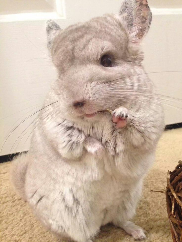 251 Best Chinchilla Heaven Images On Pinterest