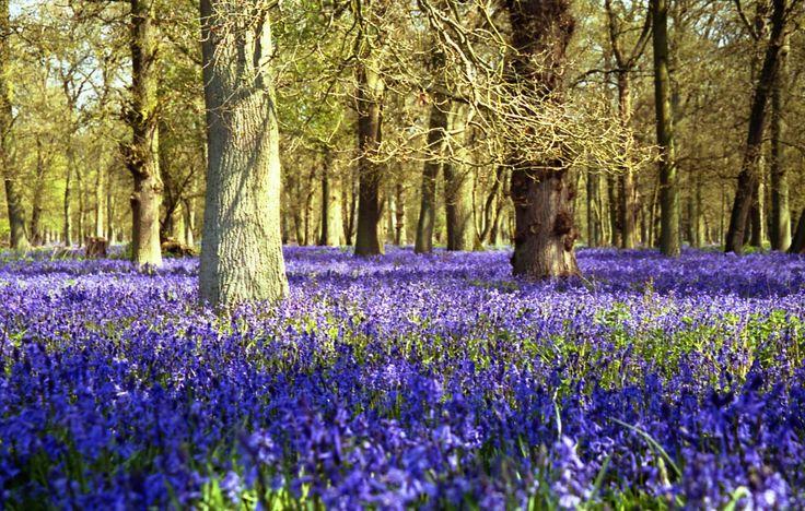 Bluebell Wood - ©VixSouthgate2012