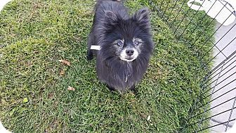 Denver, CO - Pomeranian. Meet Sammy, a dog for adoption. http://www.adoptapet.com/pet/16666369-denver-colorado-pomeranian