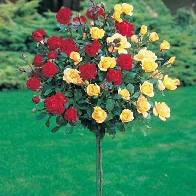 double knockout roses - Washington Redskin colors! I need these!