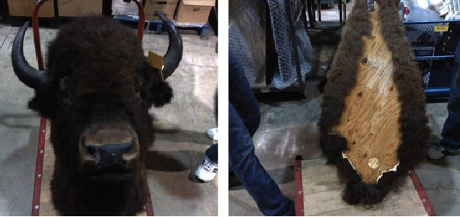 Recognize this buffalo? If you can prove this item belongs to you, please contact EPSpinterest@edmontonpolice.ca with specific details that identify the item, as well as any form of proof that it belongs to you. Only individuals providing specific information will be contacted.